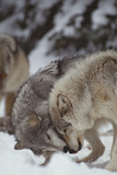 Gray Wolves Greeting One Another Papier Photo par DLILLC