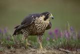 Peregrine Falcon in Grass