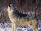 Gray Wolf Howling in Snow