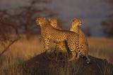 Cheetahs on Mound