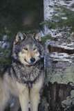 Gray Wolf Standing by Trees