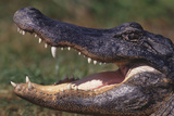 American Alligator with Jaws Open