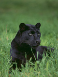 Black Panther Sitting in Grass Papier Photo par DLILLC