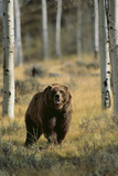 Grizzly Walking among Trees