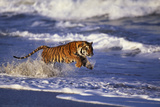 Bengal Tiger Running along the Beach