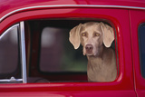 Weimaraner Sitting in an Automobile