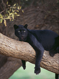Black Panther Sitting on Tree Branch