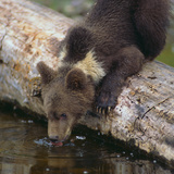 Brown Bear Cub Drinking Water