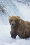 Brown Bear Standing in River