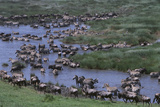 Wildebeest and Zebras Sharing a Waterhole