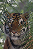 Bengal Tiger behind Palm Fronds