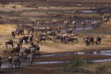 Zebras and Wildebeest Gathered near Water