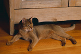 Abyssinian Cat Lounging on Floor