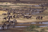 Zebras and Wildebeest Migrating