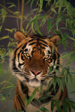 Tiger Sitting among Bamboo Leaves