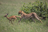 Young Cheetah Learning to Hunt