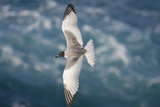 Swallow-Tailed Gull