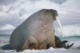 Walrus with a Broken Tusk