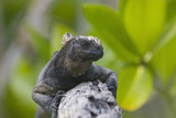 Marine Iguana Lounging on a Limb