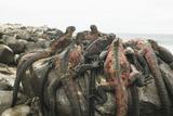 Marine Iguanas Piling atop a Rock