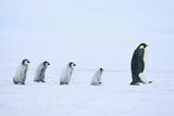 Emperor Penguins following an Adult