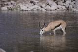 Springbok at Okaukuejo Water Hole