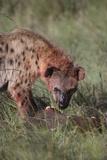 Spotted Hyena Feeding on Prey