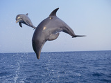 Dolphin Breaching the Oceans Surface