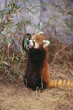 Red Panda Eating Bamboo Leaves