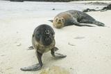 Curious Young Galapagos Sea Lion and Concerned Parent