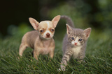 Chihuahua Puppy and a Kitten