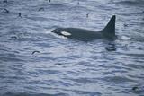Orca Whale and Sea Birds