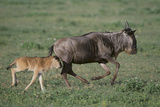 Blue Wildebeest with Her Calf