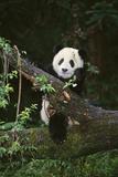 Panda on Fallen Tree