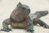 Marine Iguana in the Sand