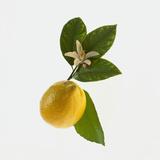 Lemon and Blossom