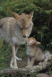Coyote and Her Pup