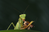 African Praying Mantis Eating a Bug