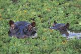 Hippopotame Papier Photo par DLILLC