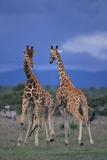 Two Playful Giraffes