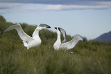 Wandering Albatross Performing Courtship Display