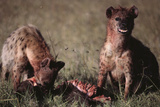 Spotted Hyenas Feeding on Carcass