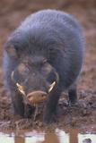 Giant Forest Wart Hog at Salt Lick