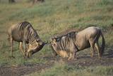 Blue Wildebeests Fighting