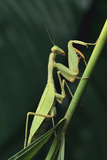 African Praying Mantis on Stalk