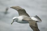 White-Capped  or Shy Albatross  in Flight