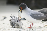 Swallow-Tailed Gull Feeding Chick Squid