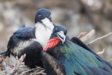Great Frigatebird Male and Female Pair