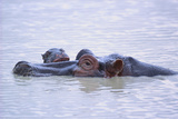 Hippopotamus and Young in the Water