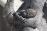 Baby Gorilla Cradling in Mother's Arms